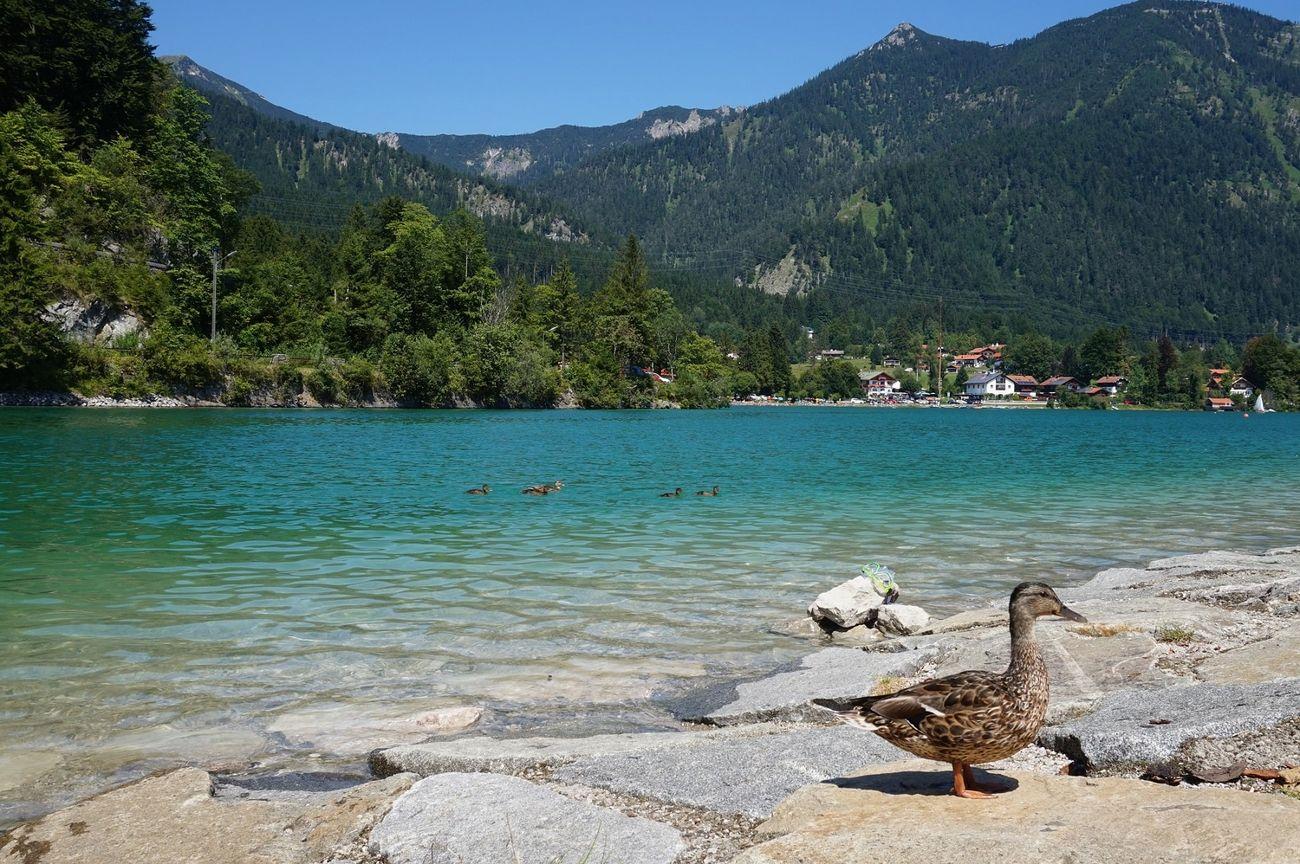 walchensee ducks
