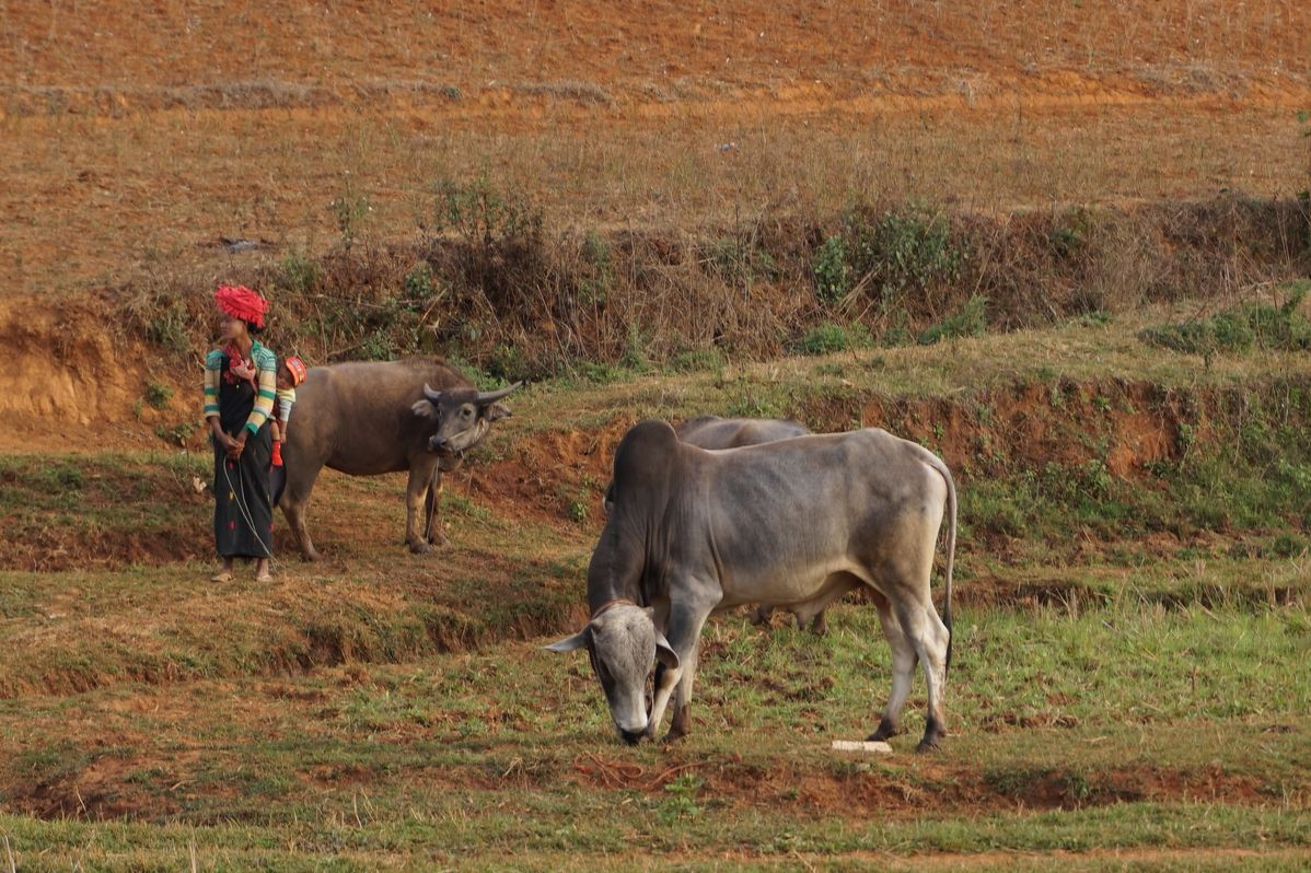 cows kalaw