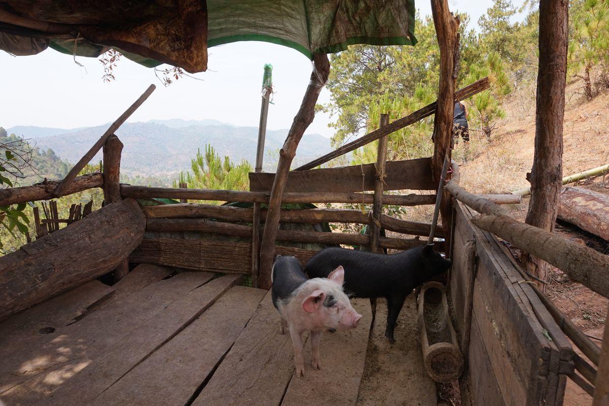 pigs myanmar