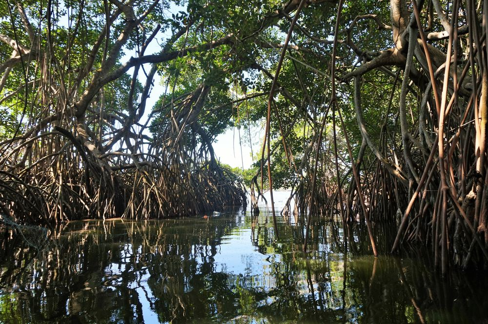 lagoon mangroves